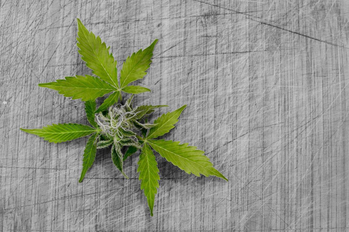 Feminizowane nasiona marihuany – nowa technologia