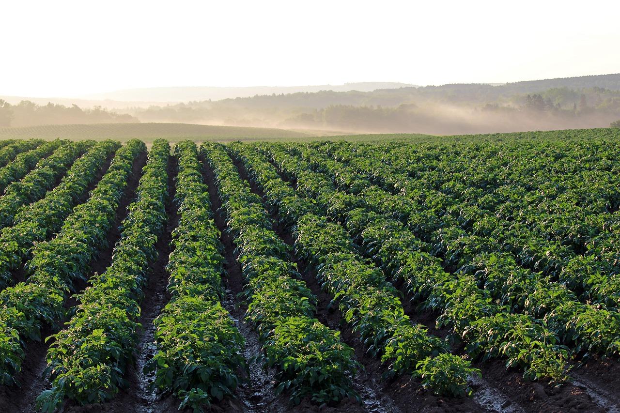Jaka ochrona upraw na polu jest skuteczna?